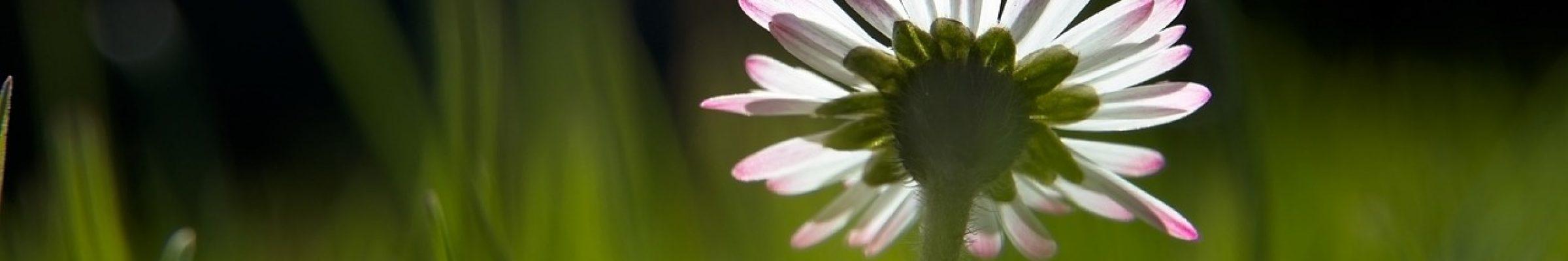 daisy, flower, plant